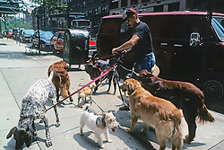 Dogs On Leash Being Walked Together