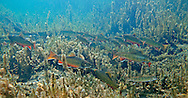 Brook Trout (in a beaver pond)<br /> <br /> Patrick Clayton/Engbretson Underwater Photogaphy