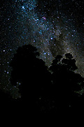 The Milky Way in the starry sky above Purerora Forest in the North Island of New Zealand. With large Totara trees, mushrooming into space …