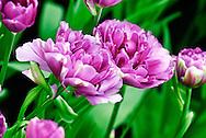 Double Late Tulip 'No 505' Keukenhof Spring Tulip Gardens, Lisse, The Netherlands.