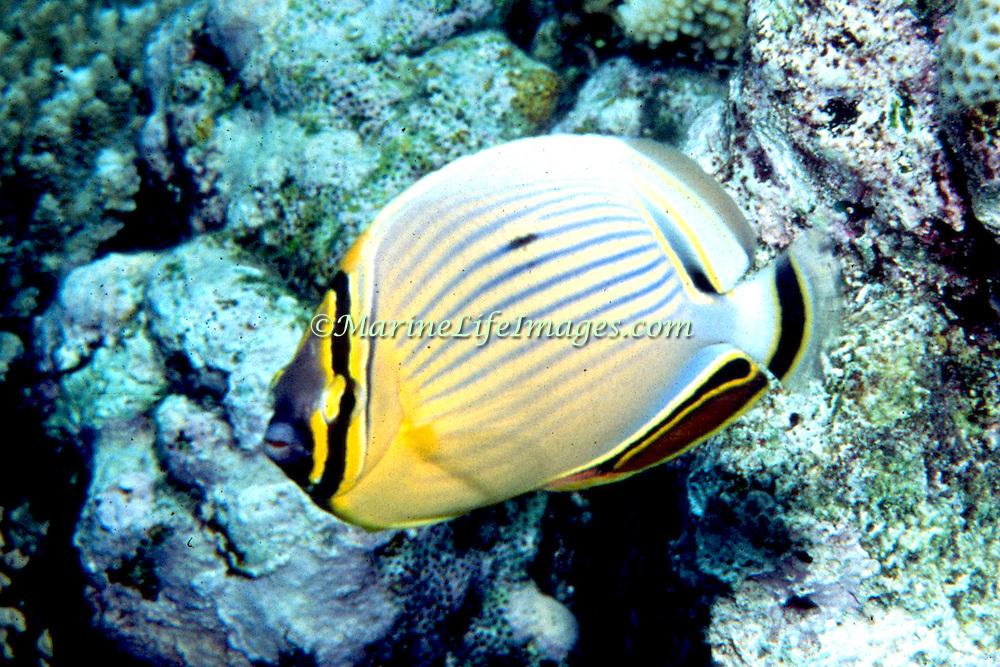 Redfin Butterflyfish inhabit reefs. Picture taken Philippines.