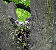 The red-tailed hawk chicks is on the nest in Central Park, NYC.