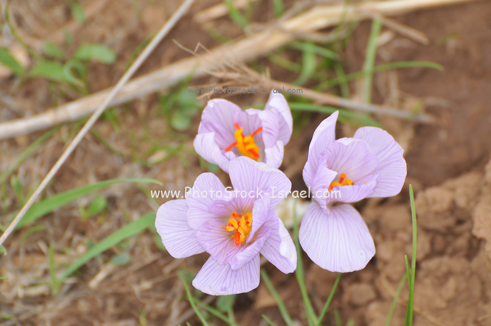 Autumn Saffron (Crocus cancellatus) Preparations from the roots and seeds of this plant are used to treat gout and rheumatism. They are also used as an emetic. Overdoses can lead to depression and violent purging of the gut. Photographed in Israel in November
