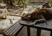 Dogs rest on a picnic table at the Yangon Animal Shelter.