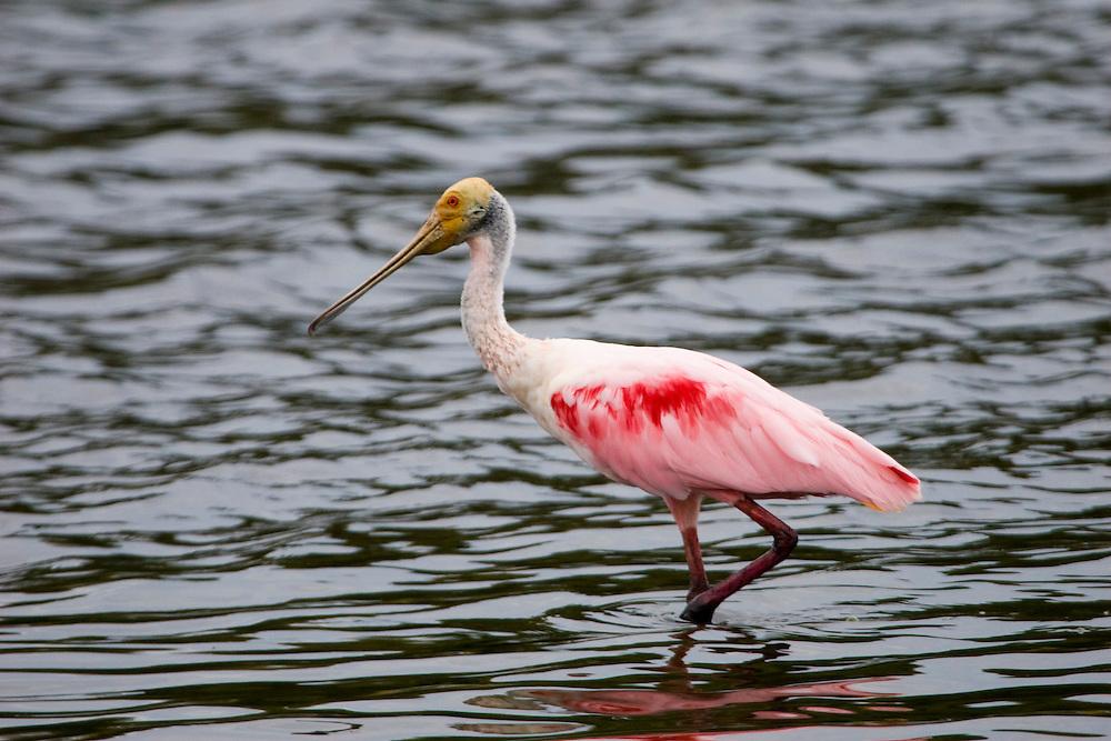 Aquidauana_MS, Brasil...Ave em um rio na Fazenda Rio Negro no Pantanal...The bird in a river in the Rio Negro farm in Pantanal...Foto: JOAO MARCOS ROSA / NITRO