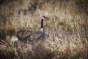 USA, Oregon, Baskett Slough National Wildlife Refuge, a pair of Canada Geese (Branta canadensis).