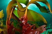 red dulse (Palmaria palmata), Norway | Der Lappentang (Palmaria palmata) ist eine mehrjährige und essbare Rotalge. Norwegen