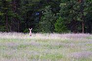 A Columbian Black-tailed Deer (Odocoileus hemionus columbianus) standing in a field at Ellison Provincial Park near Vernon, British Columbia, Canada