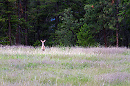 A Columbian Black-tailed Deer (Odocoileus hemionus columbianus) standing in a field at Ellison Provincial Park near Vernon, British Columbia, Canada