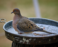 Mourning Dove under a bird feeder. Image taken with a Fuji X-T3 camera and 200 mm f/2 lens and 1.4x teleconverter (ISO 320, 280 mm, f/4, 1/500 sec).