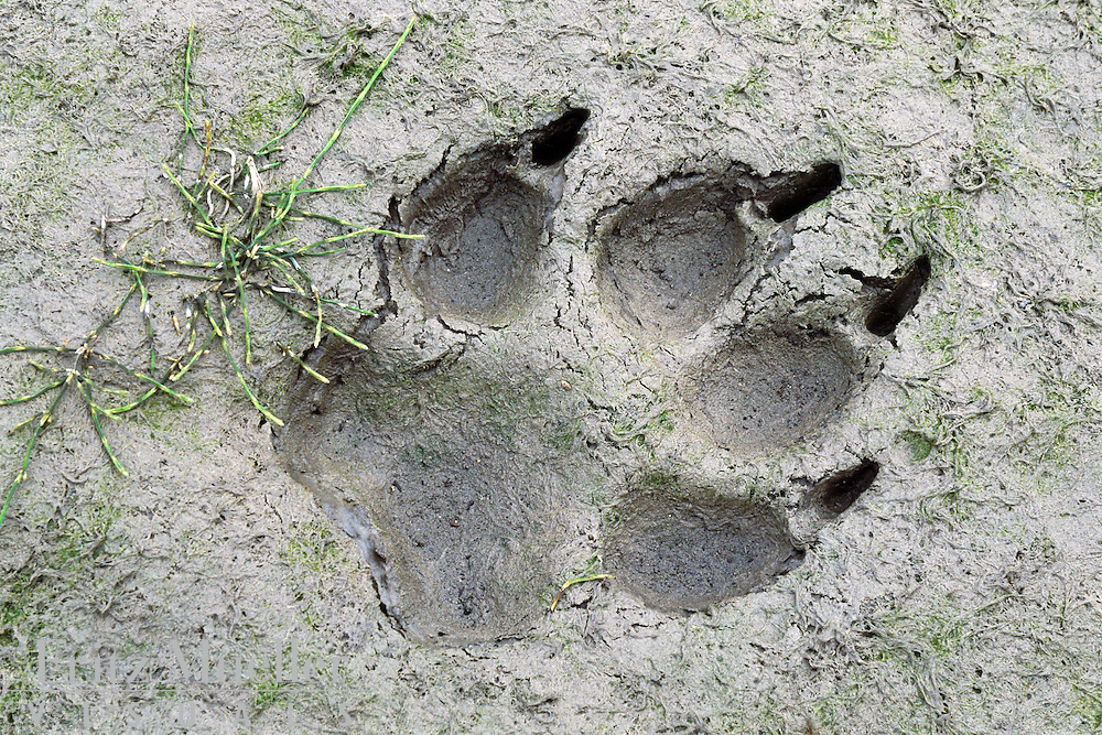 Wolf tracks in the Peel River watershed