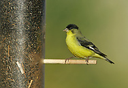 Lesser Goldfinch - Carduelis psaltria - male