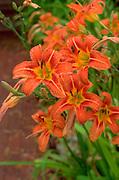 Orange tiger lilies.  Door County Wisconsin USA