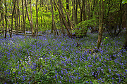 Surrey, UK. Monday 20th April 2014. Bluebells in woods in Surrey near to Otford. These Spring flowers cover the woodland floor every year.