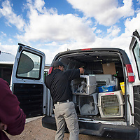 Navajo Nation Animal Control Officer Patrick Leo loads kittens into a Soul Dog Rescue van for transport to Denver, Colorado, Thursday, Nov. 7 in Fort Defiance.