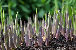 Hosta shoots pushing up through the soil in spring