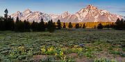 Pilgrim Creek Meadows, Grand Teton National Park, Wyoming.  Early Morning Light, Flower Meadows and Mt. Moran