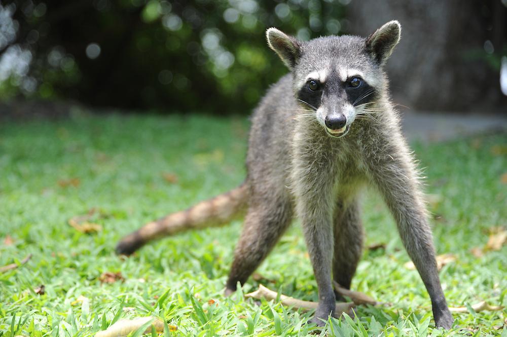 Mapache sudamericano o mapache cangrejero (procyon cancrivorus nigripes) en Panamá. Pelaje más corto que el mapache común o boreal (procyon lotor).<br /> <br /> <br /> Southern raccoon or crab-eating raccoon (procyon cancrivorus) in Panama. Shorter fur than northern raccoon o common raccoon (procyon lotor).