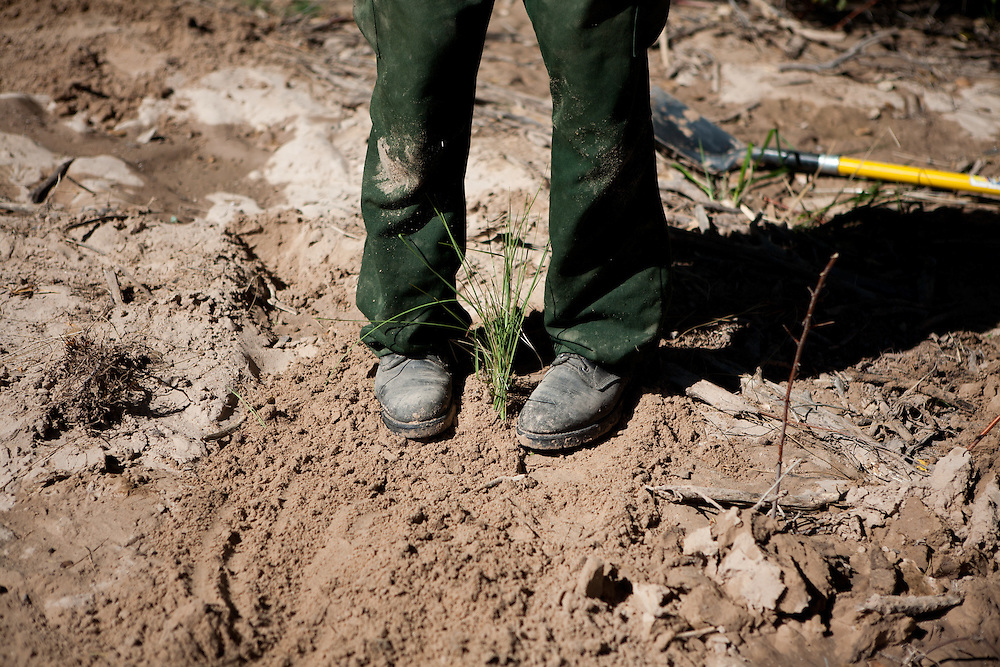 A forest worker tamps down dirt around a newly transfered plant in the Rio Grande Bosque just south of Española in Rio Arriba County. Santa Clara Pueblo has received $6,513,000 in stimulus funds to promote healthy forests and reduce hazardous fuels.