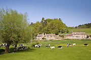 Cattle grazing, Swinbrook, Oxfordshire, The Cotswolds, England, United Kingdom