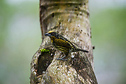 Gilded Barbet (Capito auratus) Female<br /> Yasuni National Park, Amazon Rainforest<br /> ECUADOR. South America<br /> HABITAT & RANGE: Forests of western Amazon and Orinoco from Colombia, Ecuador, Peru, Venezuela, Bolivia and Brazil