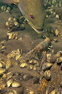Smallmouth Bass eating crayfish<br /> <br /> Engbretson Underwater Photography