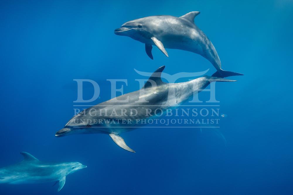 Pelagic Tursiops truncatus (Bottlenose dolphins) offshore, Northern New Zealand.<br /> 07 February 2017<br /> Photograph Richard Robinson © 2017