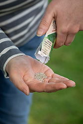 Emptying packet of  Lettuce 'Little Gem' seed into hand ready to sow