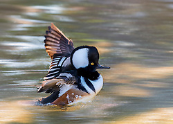 Hooded Mergansers are small ducks with a thin bill and a fan-shaped, collapsible crest that makes the head look oversized and oblong. In flight, the wings are thin and the tail is relatively long and rounded.