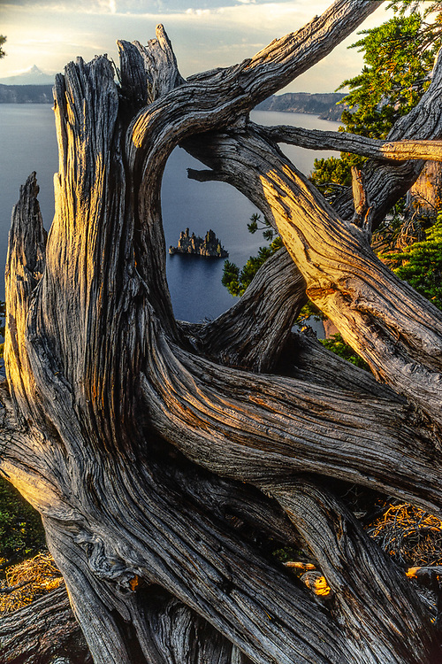 Wizard Island viewed through weathered tree roots, evening light, Crater Lake National Park, Oregon, USA