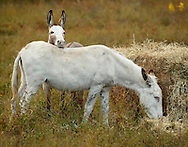 A donkey rests its head on another donkey as the second donkey feeds on hay in a field at the Sanctuary For Animals in Westtown, New York.