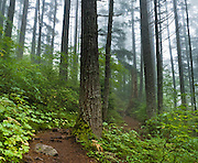 The Granite Mountain Trail ascends through a misty forest of evergreen trees in Alpine Lakes Wilderness Area. Hike 8 miles with 3800 feet elevation gain, starting from Exit 47 of Interstate 90 near Seattle, Washington, USA.