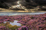 Scenic view of moorland habitat at dusk showing flowering heather in foreground, Peak District National Park, August 2011
