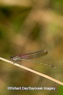 06015-001.13 American Rubyspot (Hetaerina americana) male, Embarras River, Jasper Co. IL