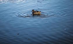 THEMENBILD - eine Ente am Wasser an einem sonnigen Herbsttag, aufgenommen am 10. November 2018, Saalfelden am Steinernen Meer, Österreich // a duck at the water on a sunny autumn day on 2018/11/10, Saalfelden am Steinernen Meer, Austria. EXPA Pictures © 2018, PhotoCredit: EXPA/ JFK