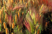 Morning light on Foxtail Barley (Hordeum jubatum), Mono Lake, Mono Basin National Scenic Area, California