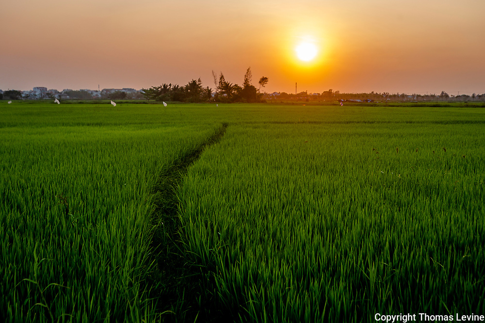 March, 2021: Rice field sunset in Hoi An.