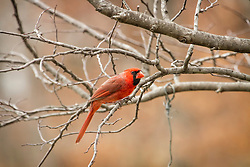 A Male Northern Cardinal Perched In A Tree