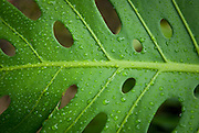 A green tropical leaf with water drops.