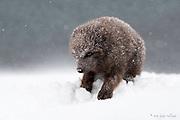 Arctic Fox, Blue Morph Fox, Iceland Arctic Fox, Arctic fox photography, Arctic fox photography workshop, Arctic Fox fine Art Print, Arctic Fox photo