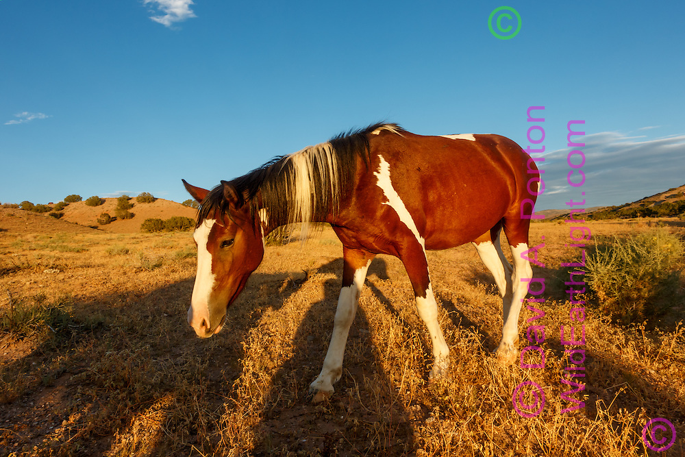 Mustang walks in the shadows of companions along arid land in the New Mexico landscape near Placitas, © David A. Ponton