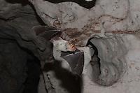 Maghrebian mouse-eared bat, Punisches Mausohr (Myotis punicus), Macomer, Nuoro, Sardinia