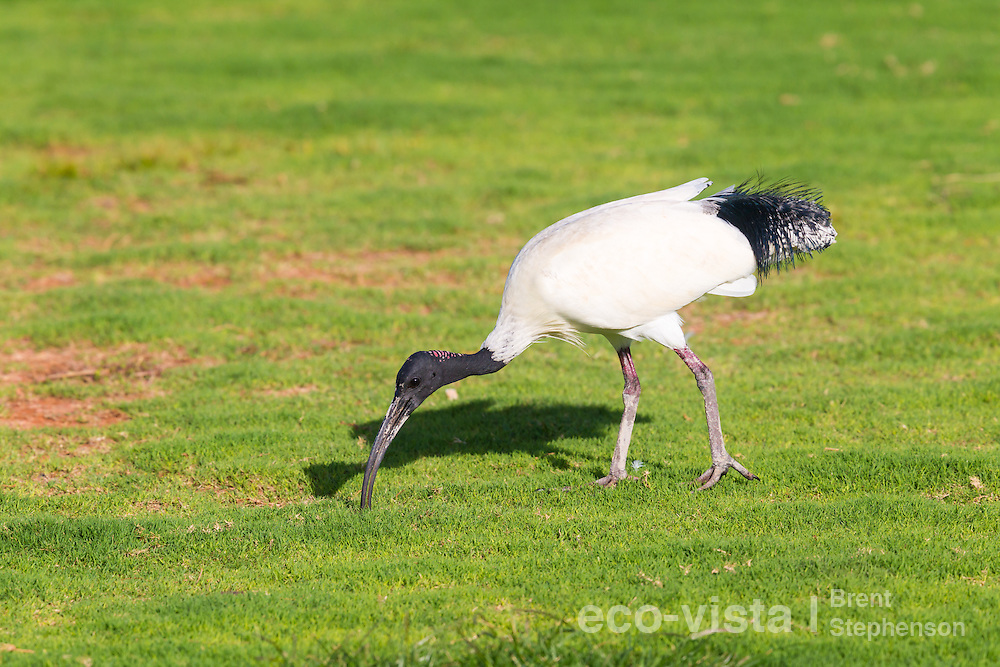 An Australian ibis (Threskiornis moluccus) probes the ground with its long curved beak, whilst feeding on short grass near the coast. Cable Beach, Broome, Western Australia. September.