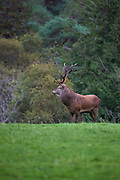 Red Deer stag, Cervus elaphus, in Killarney National Park, Kerry, Ireland, during the annual rutting season. Native to Ireland since the last ice age, the red deer population dwindled to around 60 at the turn of the 20th century, but thanks to protection and management now number in the hundreds. During the rutting season, the stags gather around 5 hinds into a harem, and give out a loud, deep roar to challenge or ward off other males. Inexplicably, the red deer hinds are still hunted in Ireland, although it's illegal to hunt the stags in Kerry. Copyright 2011 Dave Walsh. All Rights Reserved.