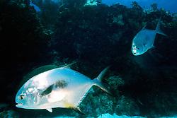 courting pair of permit, .Trachinotus falcatus, .South Elbow, Key Largo, Florida  .Keys National Marine Sanctuary (Atlantic)