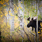 Wild Moose hidden amongst the fall color in the mountains of Utah.