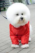 white Bichon Frise in a red raincoat