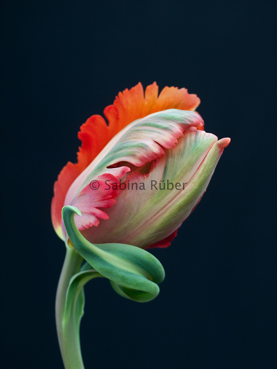Tulipa 'Orange Favourite' - parrot tulip