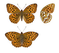 High Brown Fritillary Argynnis adippe Wingspan 60mm. Fast-flying butterfly associated with windswept, open country. Adult has orange-brown upperwings with dark spots; underside of hindwing has brownish scaling. Flies July–August. Larva feeds on violets. Status Scarce and rather endangered, found mainly in W and NW England; favours meadows and open, grassy woodlands.