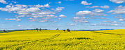 Canola field under blue sky and cumulus clouds near Sebastopol, New South Wales, Australia <br />